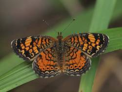 Pearl Crescent (Dorsal, Female)