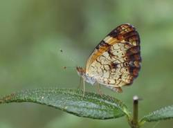 Pearl Crescent (Ventral, Female)
