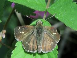 Pepper and Salt Skipper (Dorsal)