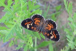 Phaon Crescent (Dorsal)
