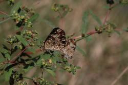 Phaon Crescent (Mating)