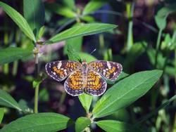 Phaon Crescent (Dorsal, Female)
