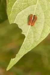 Pipevine Swallowtail (Caterpillar)