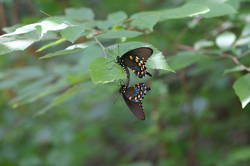 Pipevine Swallowtail (Mating)