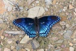 Red-spotted Purple (Dorsal)