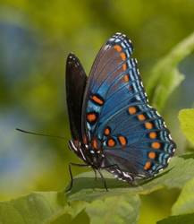 Red-spotted Purple (Ventral)
