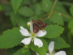 Reversed Roadside-Skipper (Dorsal)