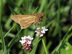 Salt Marsh Skipper (Ventral)