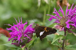 Silver-spotted Skipper (Ventral)