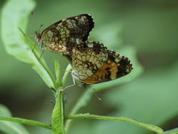 Silvery Checkerspot (Mating Pair, Ventral)