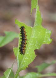 Silvery Checkerspot (Caterpillar)
