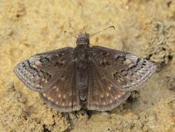 Sleepy Duskywing (Dorsal, Male)