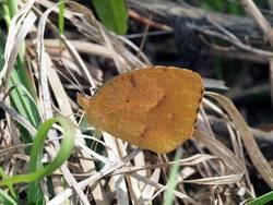 Sleepy Orange (Ventral, Male, Winter form)