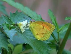 Sleepy Orange (Ventral, Male, Summer Form)