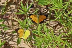 Sleepy Orange (Dorsal, Male, Female)
