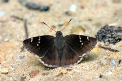 Southern Cloudywing (Dorsal)