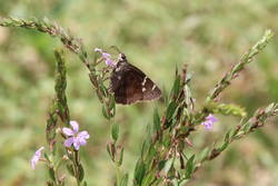 Southern Cloudywing (Ventral)