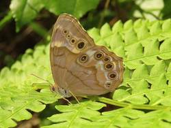 Southern Pearly-Eye (Ventral)