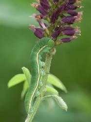 Southern Dogface (Caterpillar)