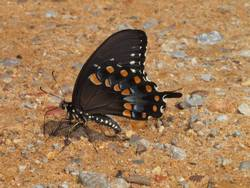 Spicebush Swallowtail (Ventral, Puddling)