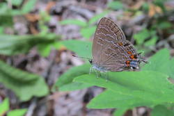 Striped Hairstreak (Ventral)