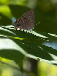 Striped Hairstreak