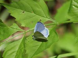 Summer Azure (Dorsal, Male)