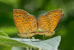 Swamp Metalmark (Mating Pair, Ventral)
