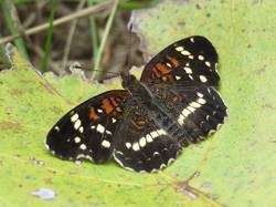 Texan Crescent (Dorsal)