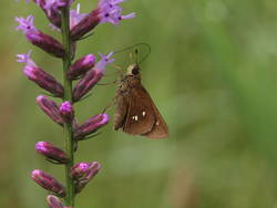 Twin-spot Skipper (Ventral)