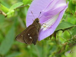 Twin-spot Skipper