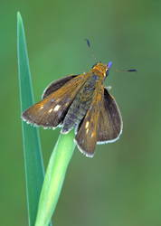 Two-spotted Skipper (Dorsal)