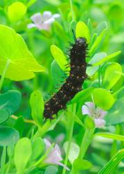 White Peacock (Caterpillar)