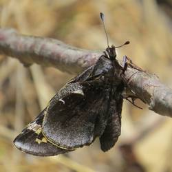Yucca Giant-Skipper (Ventral)
