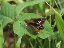 Zabulon Skipper (Dorsal, Female)