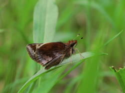 Zabulon Skipper (Ventral, Female)
