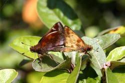 Zabulon Skipper (Mating, Male, Female, Ventral)