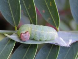 Zarucco Duskywing (Caterpillar)