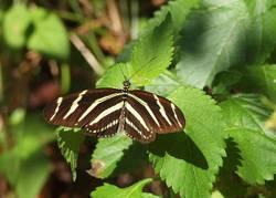 Zebra Longwing (Dorsal)