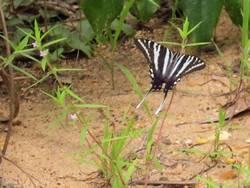 Zebra Swallowtail (Dorsal, Summer Form)