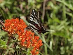 Zebra Swallowtail (Ventral)
