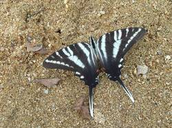 Zebra Swallowtail (Dorsal, Summer Form)