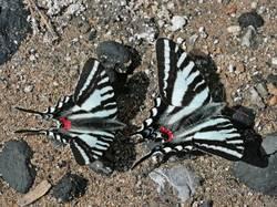 Zebra Swallowtail (Dorsal, Puddling)