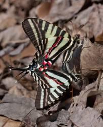 Zebra Swallowtail (Mating)