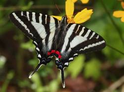Zebra Swallowtail (Dorsal, Spring form)
