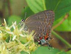 King's Hairstreak
