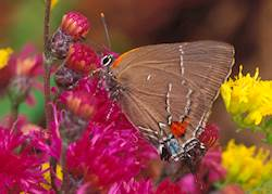 White-M Hairstreak