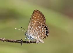 Eastern Pygmy-Blue