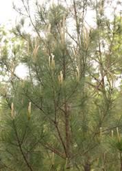 Eastern Pine Elfin