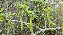 Oak Hairstreak